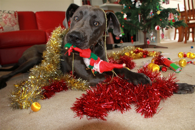 Do pets REALLY know it's Christmas?