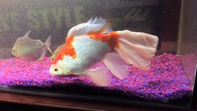 Is this Goldfish the world's biggest?