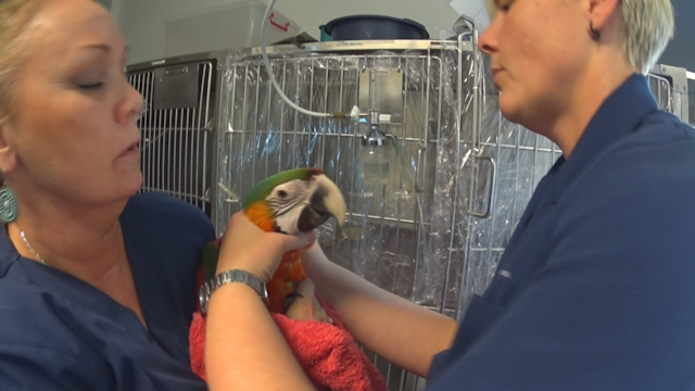 Macaw with Life Threatening Lung Infection