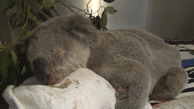 Saving Koalas - Dr Jayne Weller